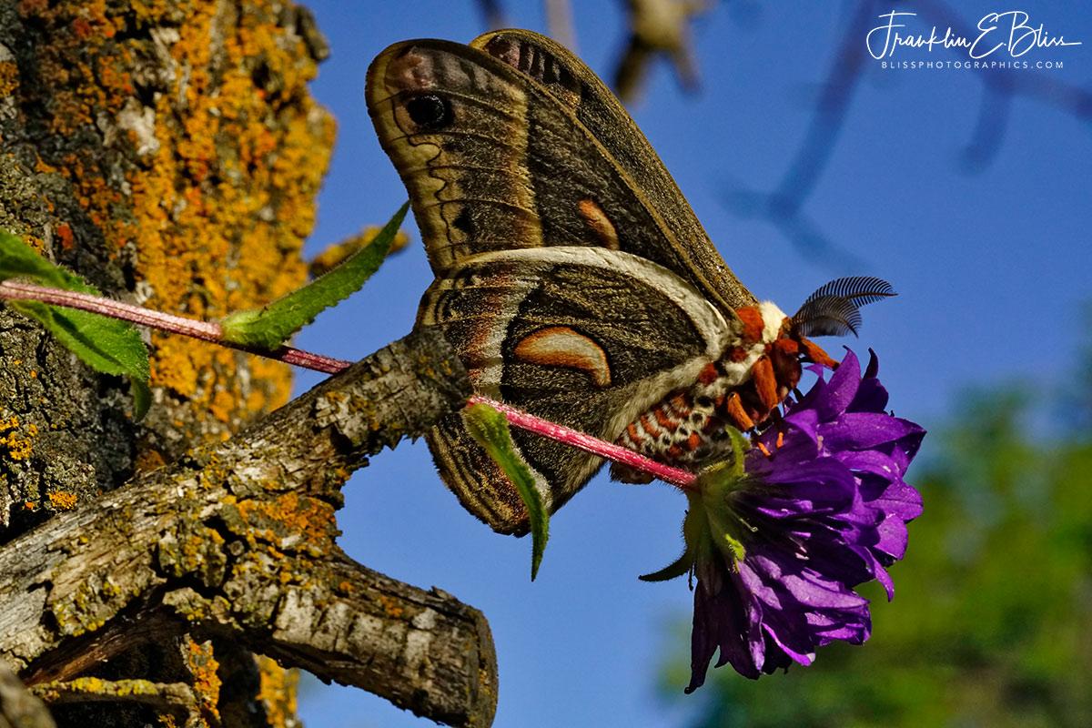 Glover Moth Purple on Blue