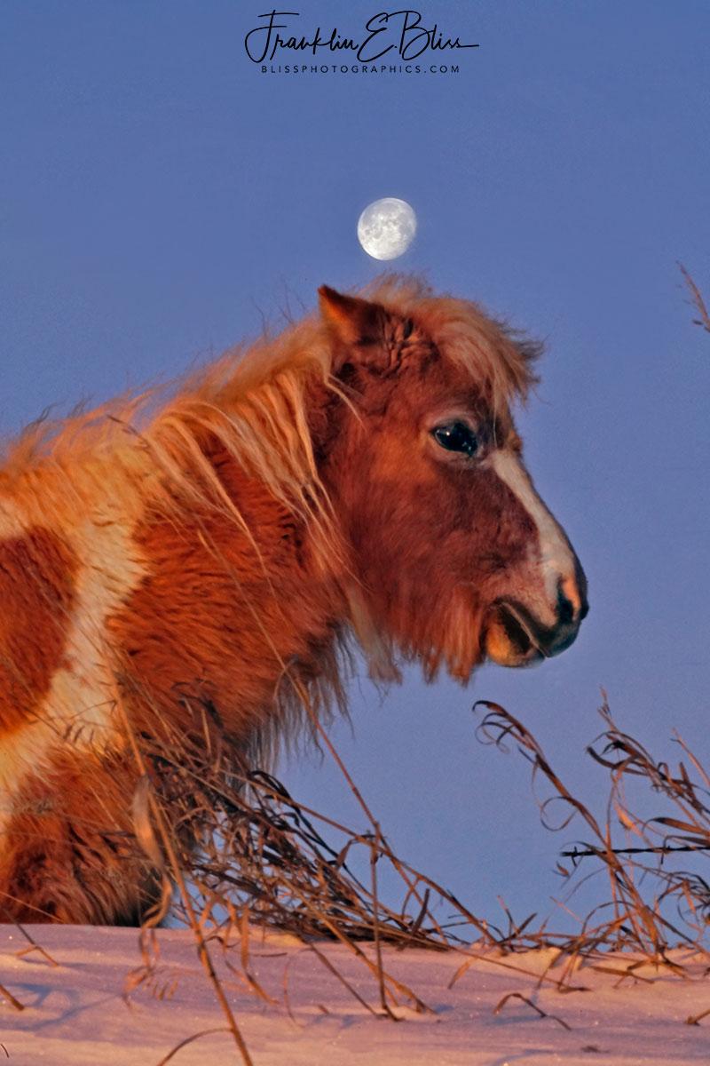 Shetland Pony Full Moon