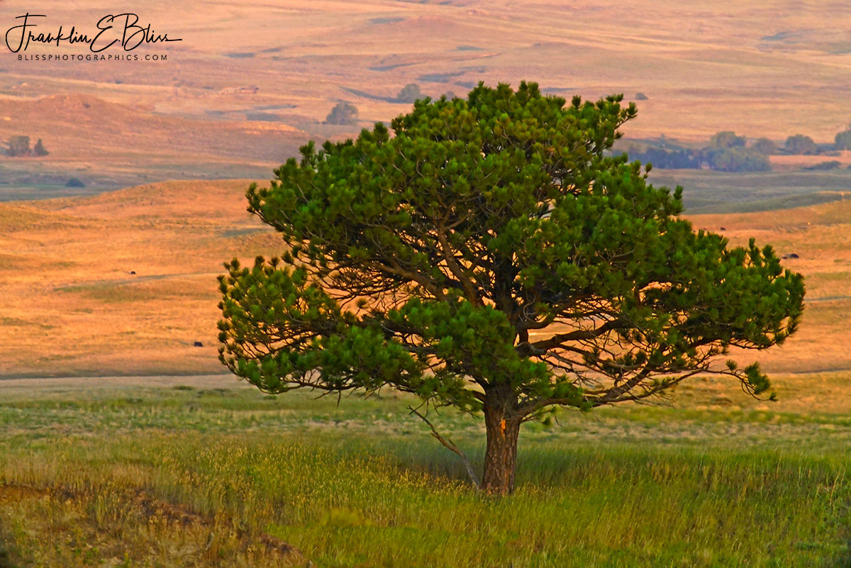 Lone Tree Golden Background