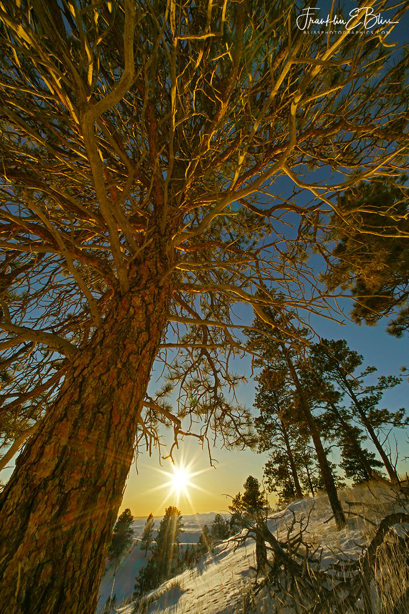 Perspective Pine Stand Sunset