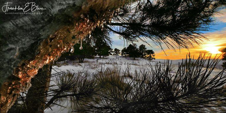 Perspective Porcupine Pine Damage  011320D