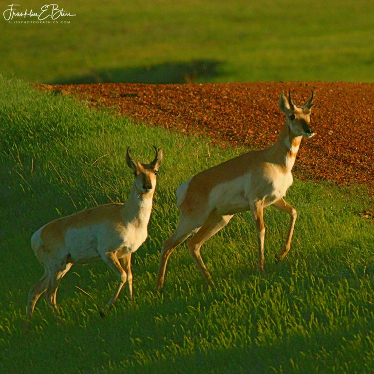 Pronghorns Crossing the Road