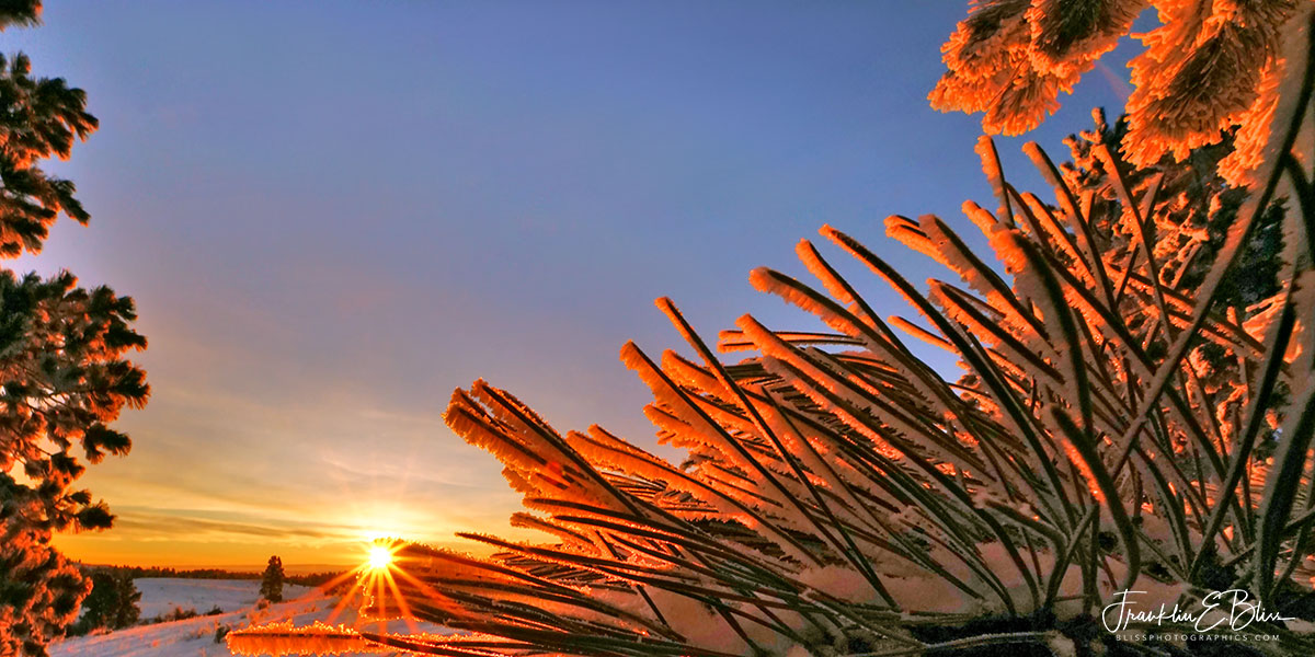 Pine Noodle Sun Rise