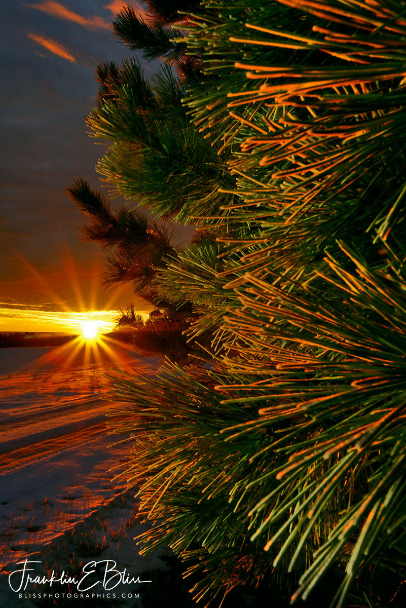 Iced Pine Needle Sunrise