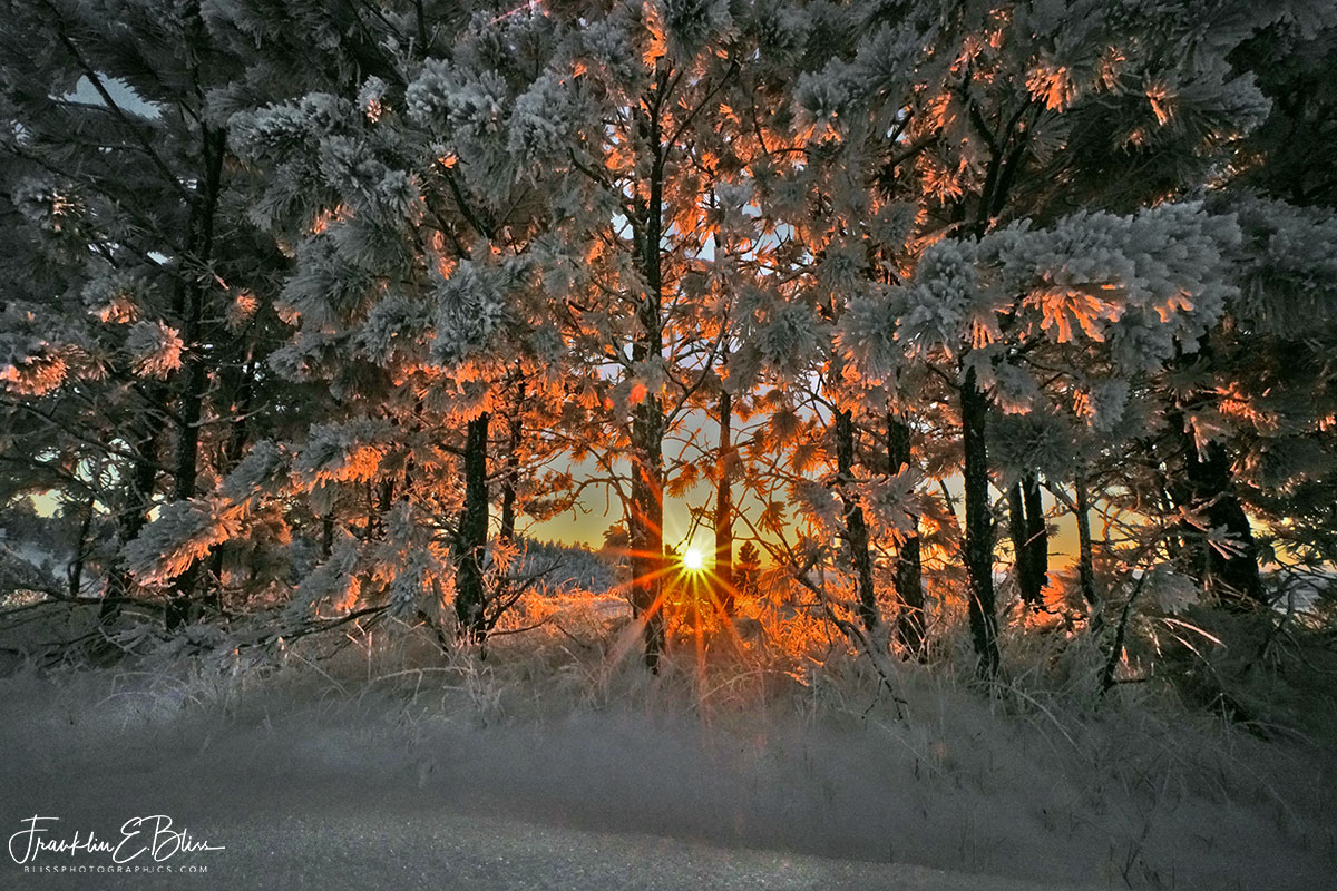 Sunset Through Frosty Pines