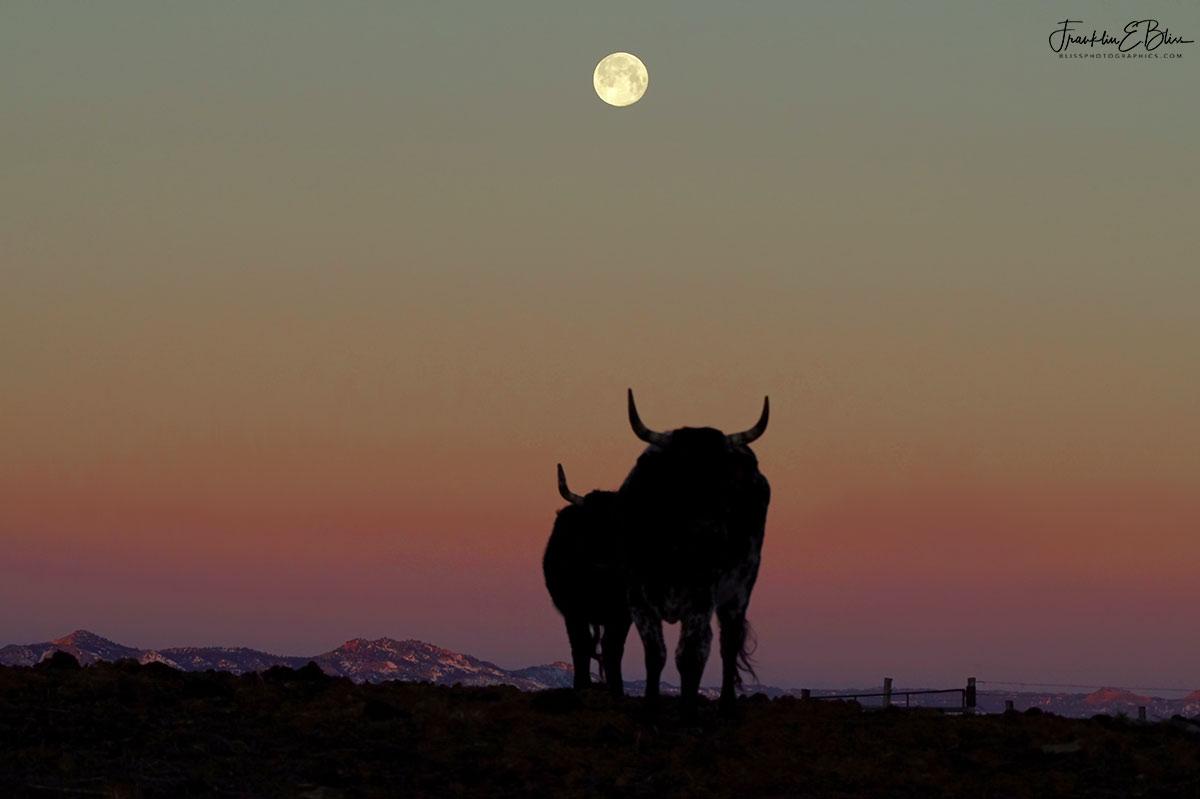 Long Horn Moon