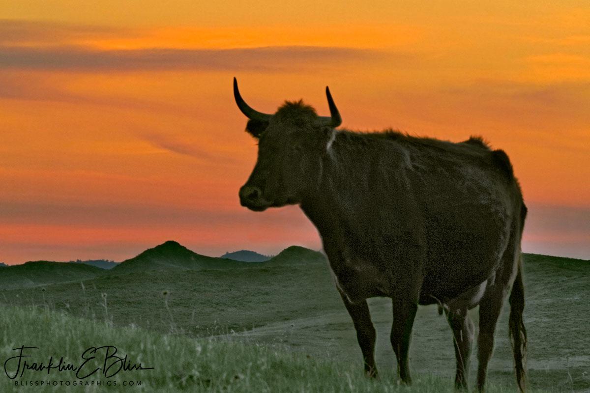 Twilight Longhorn Highlights