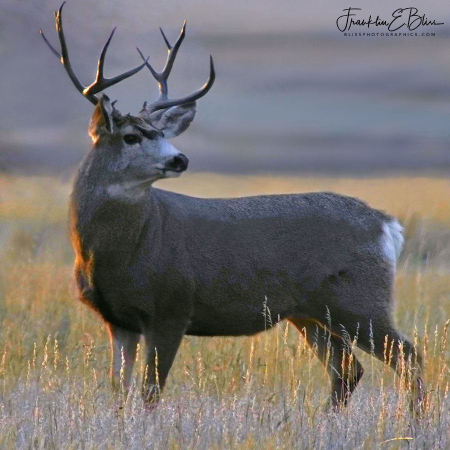Mule Deer Buck at Sunset