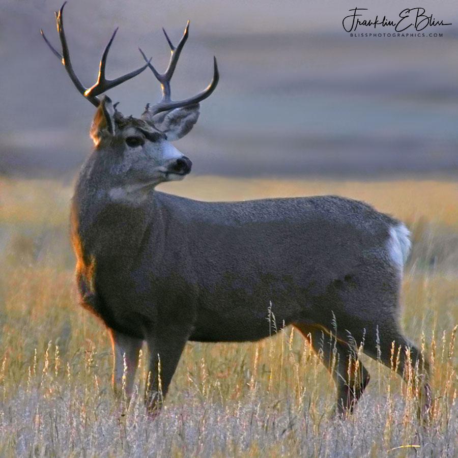Mule Deer Buck at Sunset