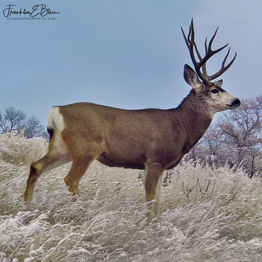 Mule Deer Big Buck
