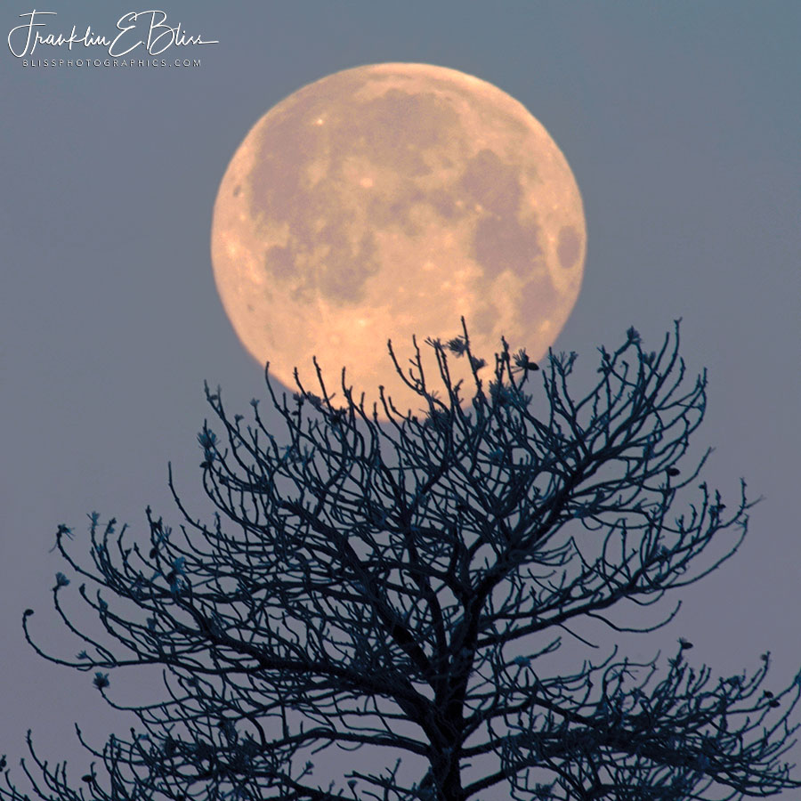 Moon Nesting in a Tree