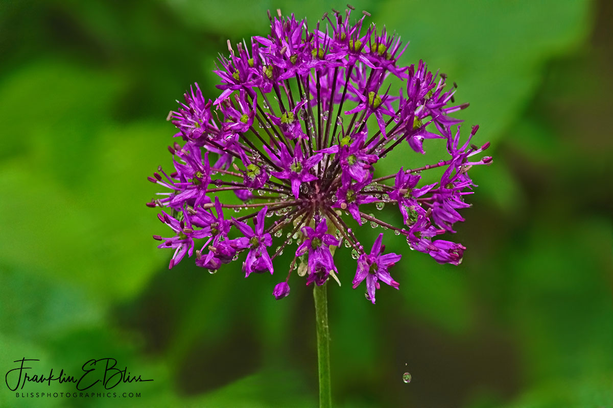 Giant Allium Summer Bloom
