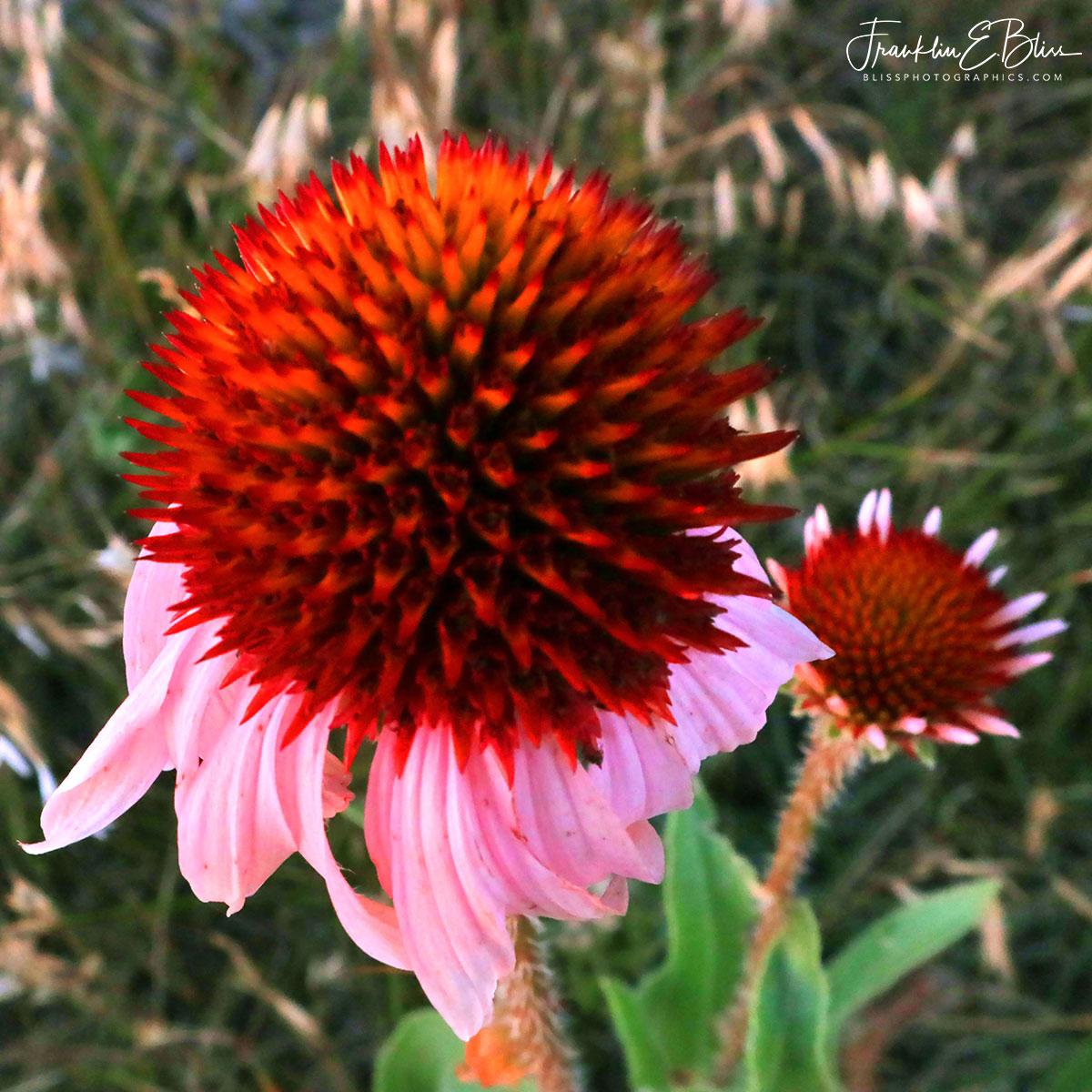 Echinacea Cone Flower Macro
