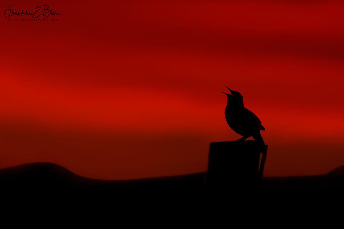 Meadowlark Silhouette Singing in Twilight