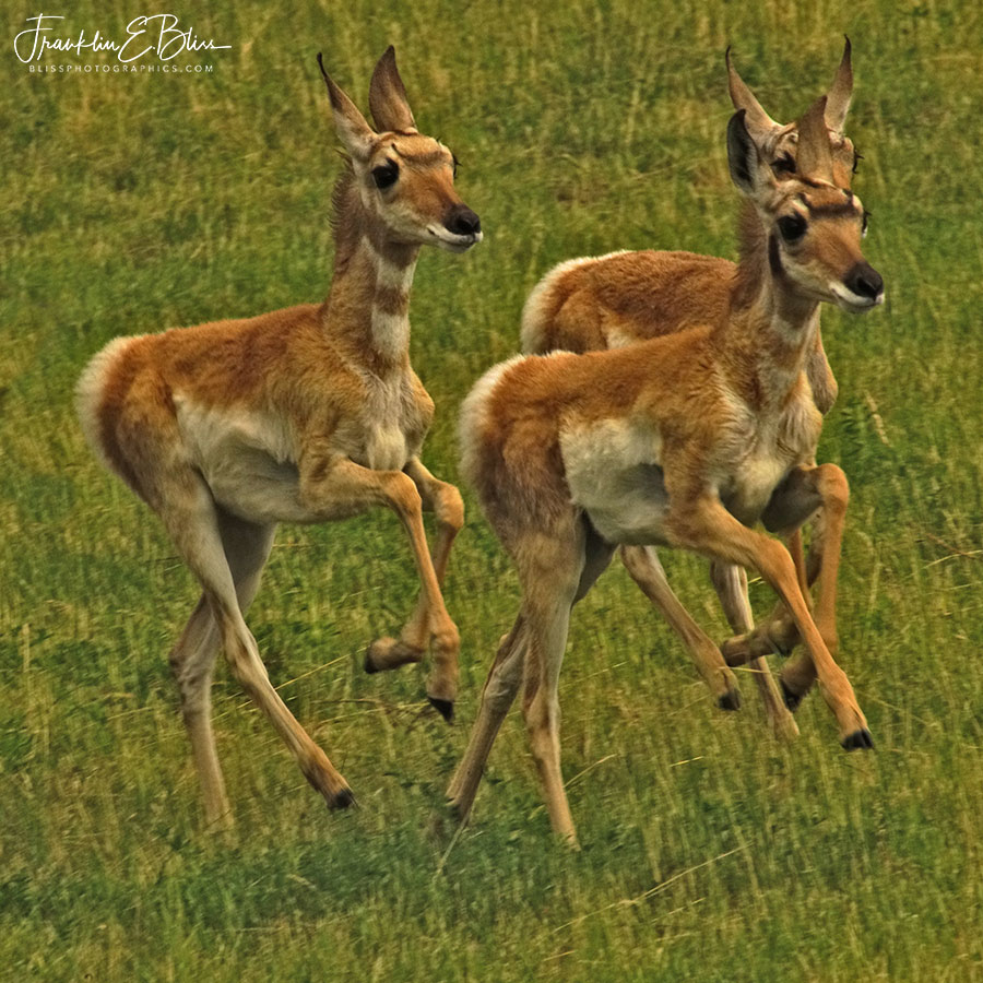 Three Running Pronghorn Fawns
