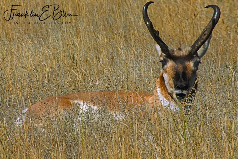 Grassy Bedded Buck Pronghorn  031820A