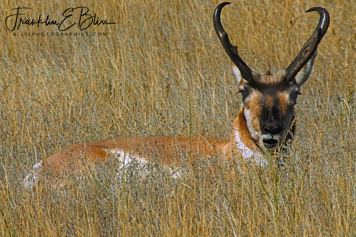 Grassy Bedded Buck Pronghorn