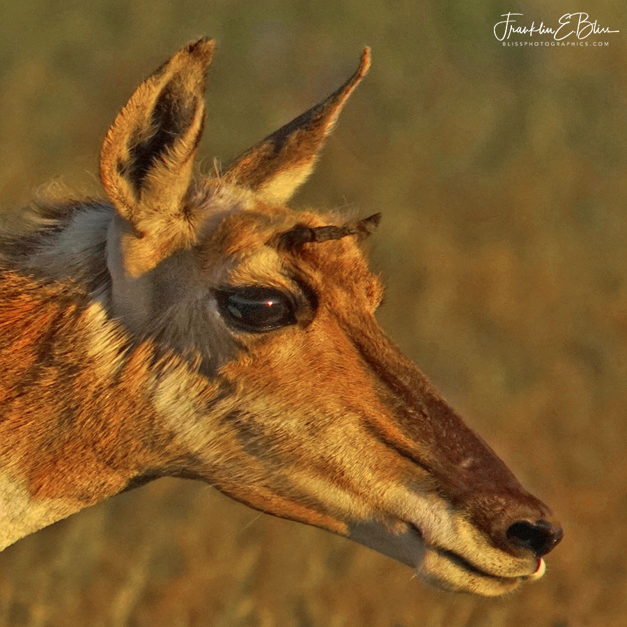 Pronghorn Doe Side Portrait