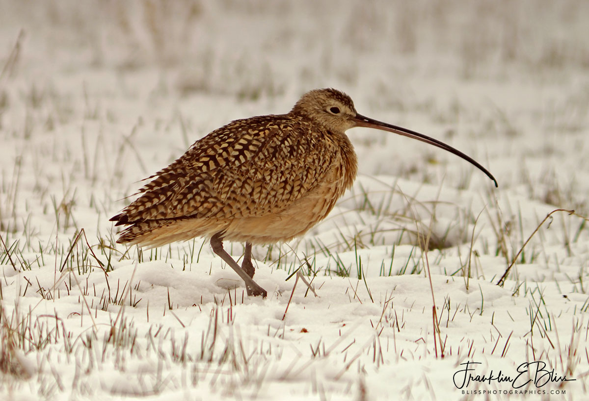 Cold Footed Curlew