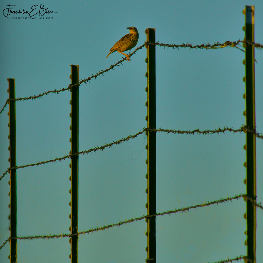 Perspective Meadowlark Fence Line