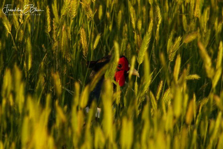 Pheasant in the Grass 032420L