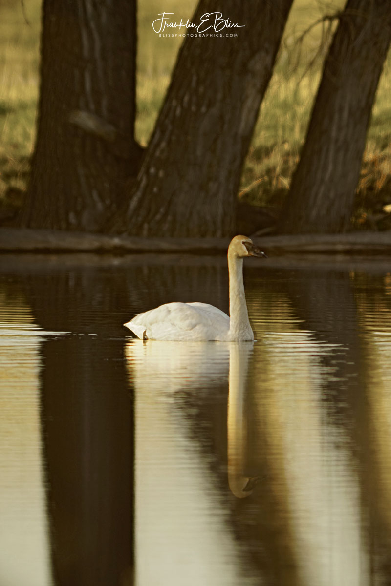Whistling Swan Rare Sighting