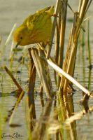 Golden Warbler Foraging 031920A