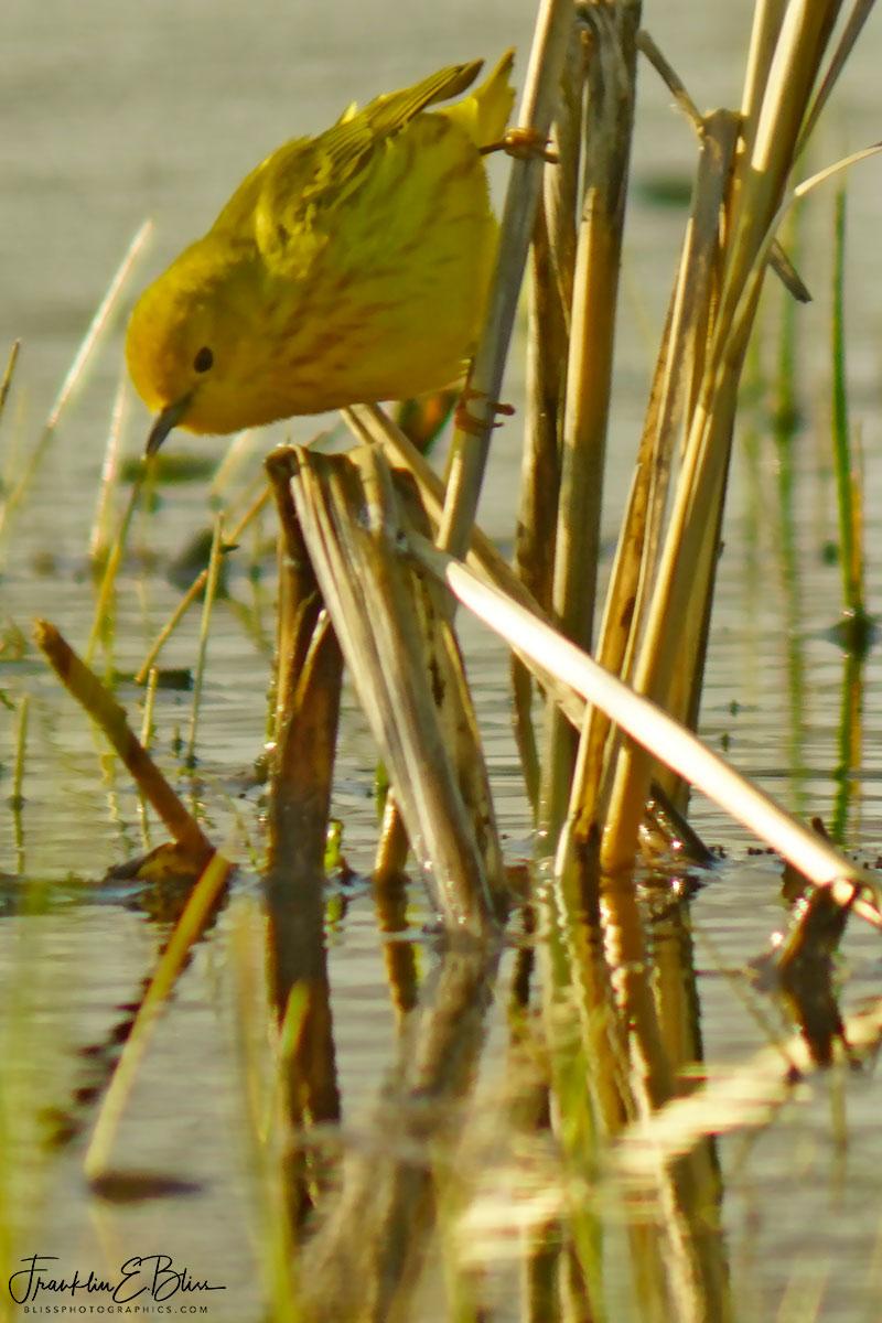 Golden Warbler Foraging