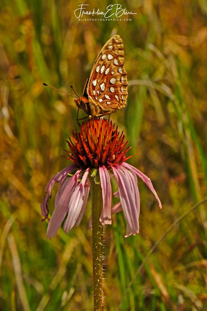 Butterfly Taking Echinacea