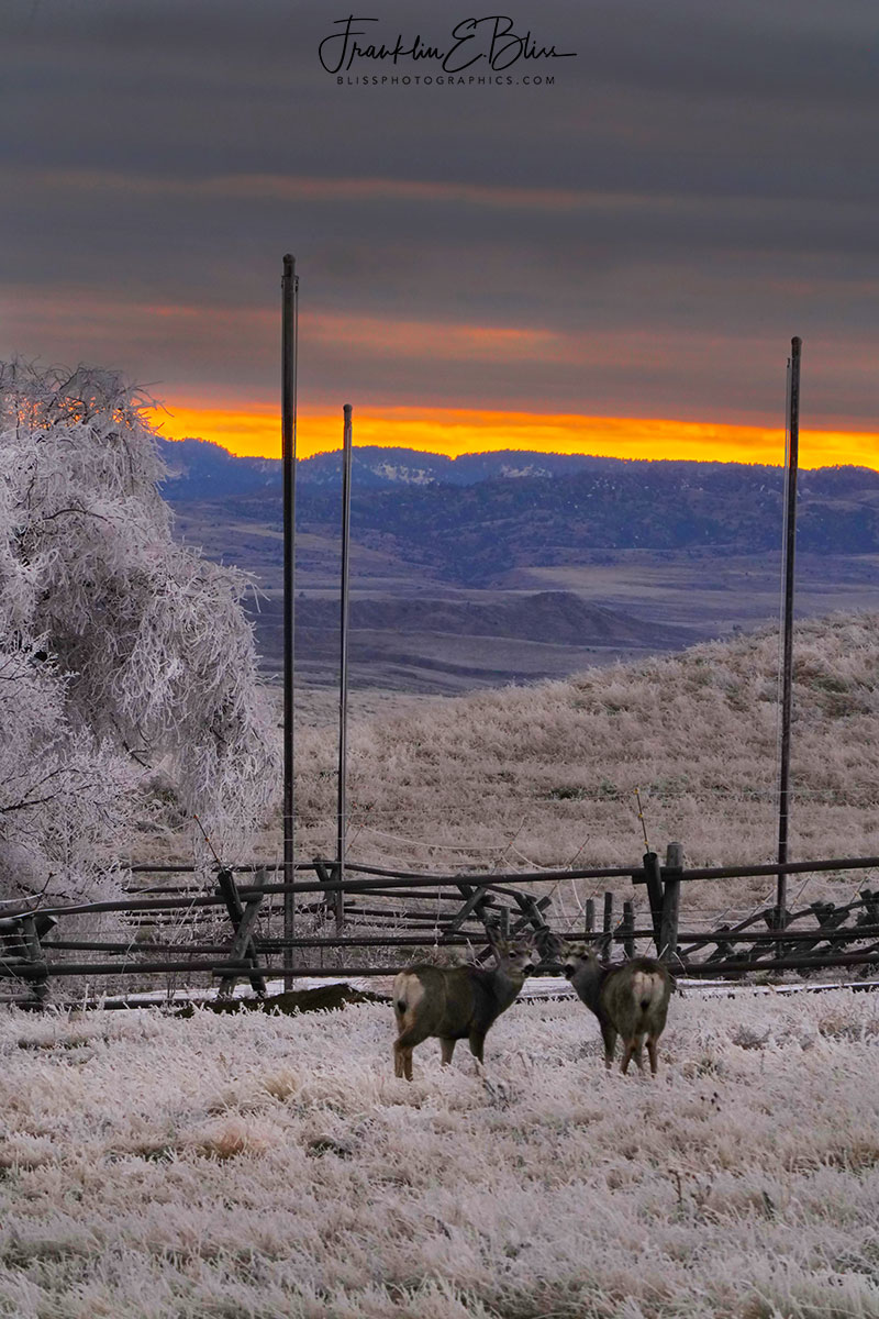 Deer Watching the Frosty Sunset