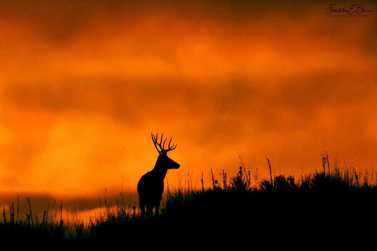 Buck Mule Deer Twilight