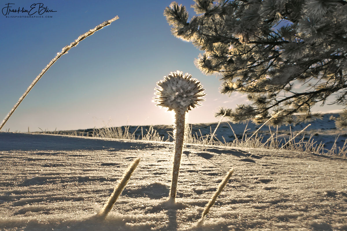 Frosty Echinacea Sun Filter