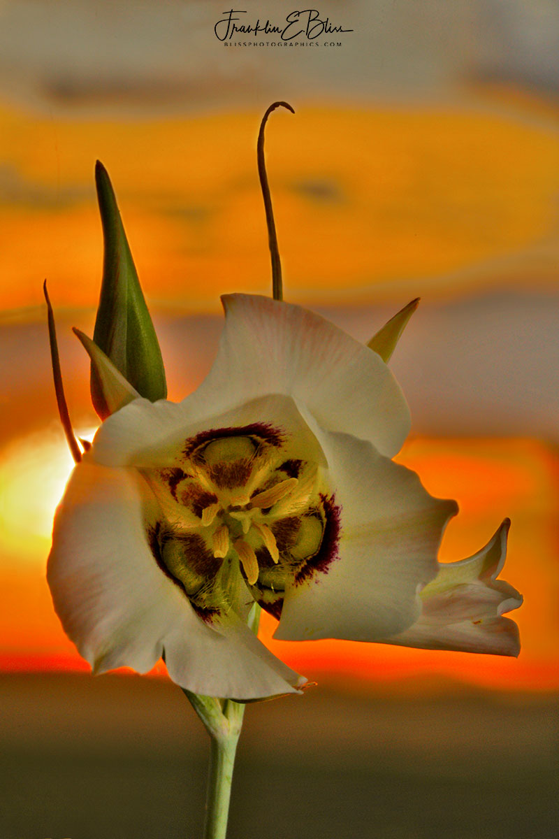 Sego Lily Sunset