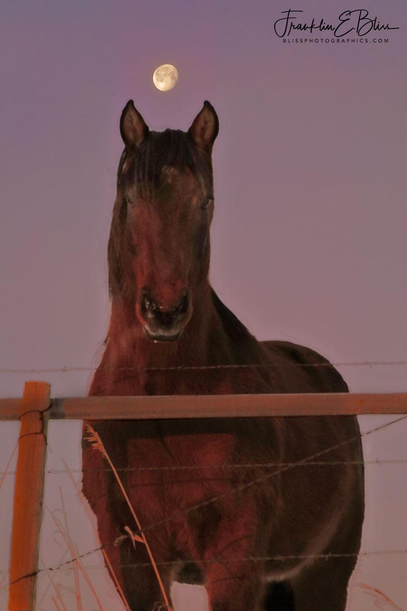 Shaggy Quarter Horse Moon