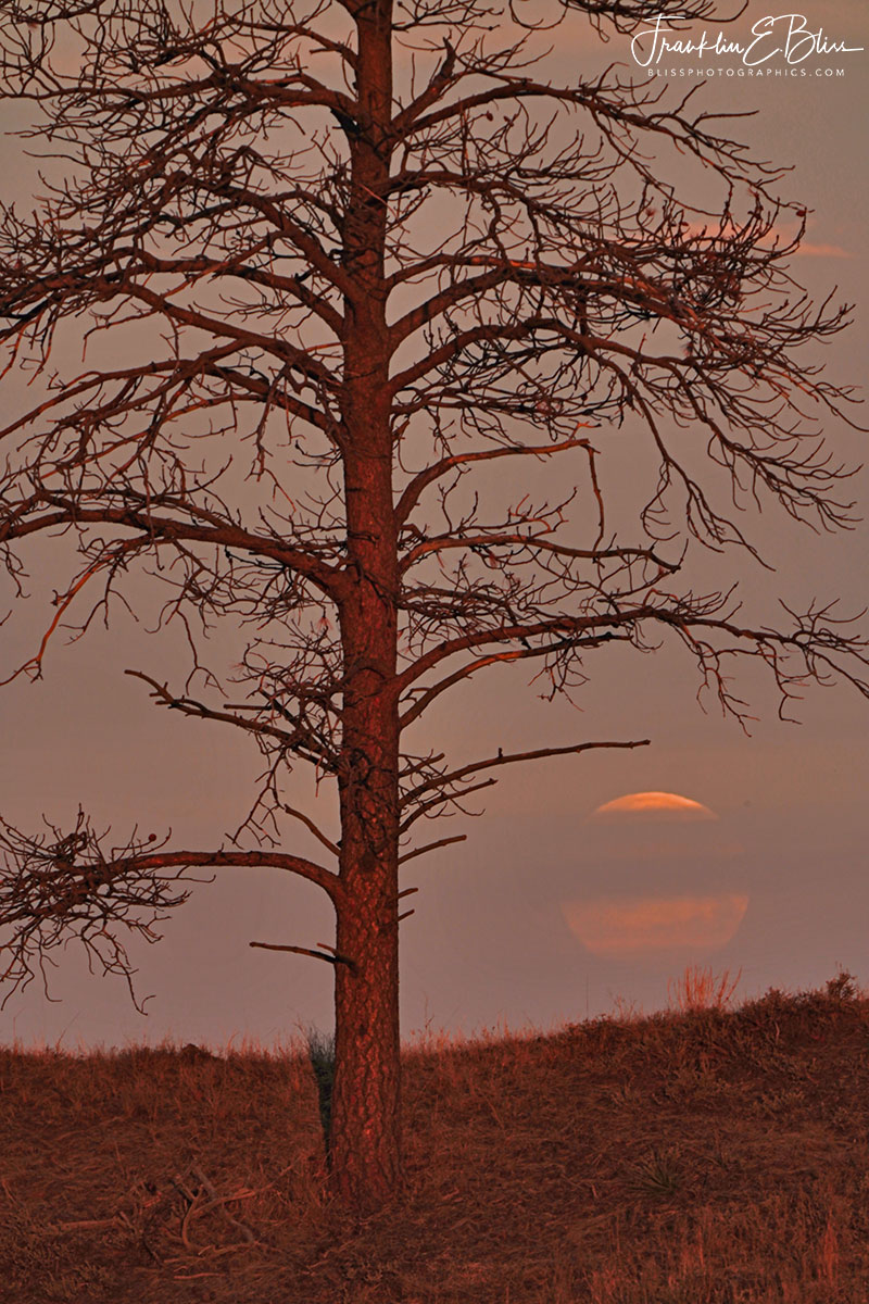Veiled Moon Lone Tree
