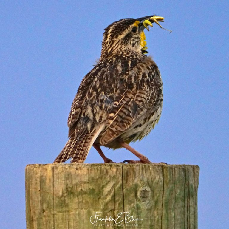 Meadowlark and Two Grasshoppers 031520A
