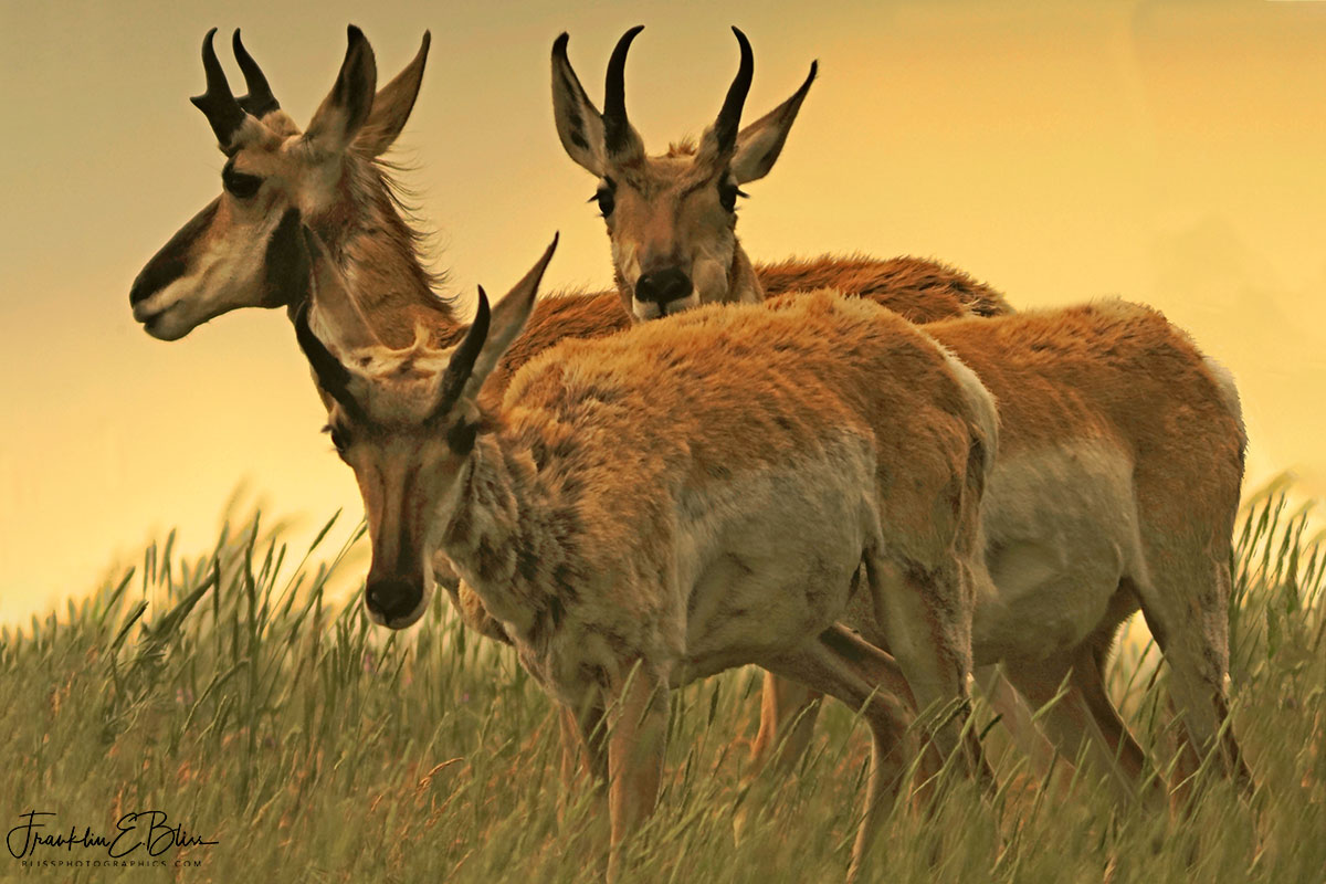 Scruffy Pronghorn Boys Club