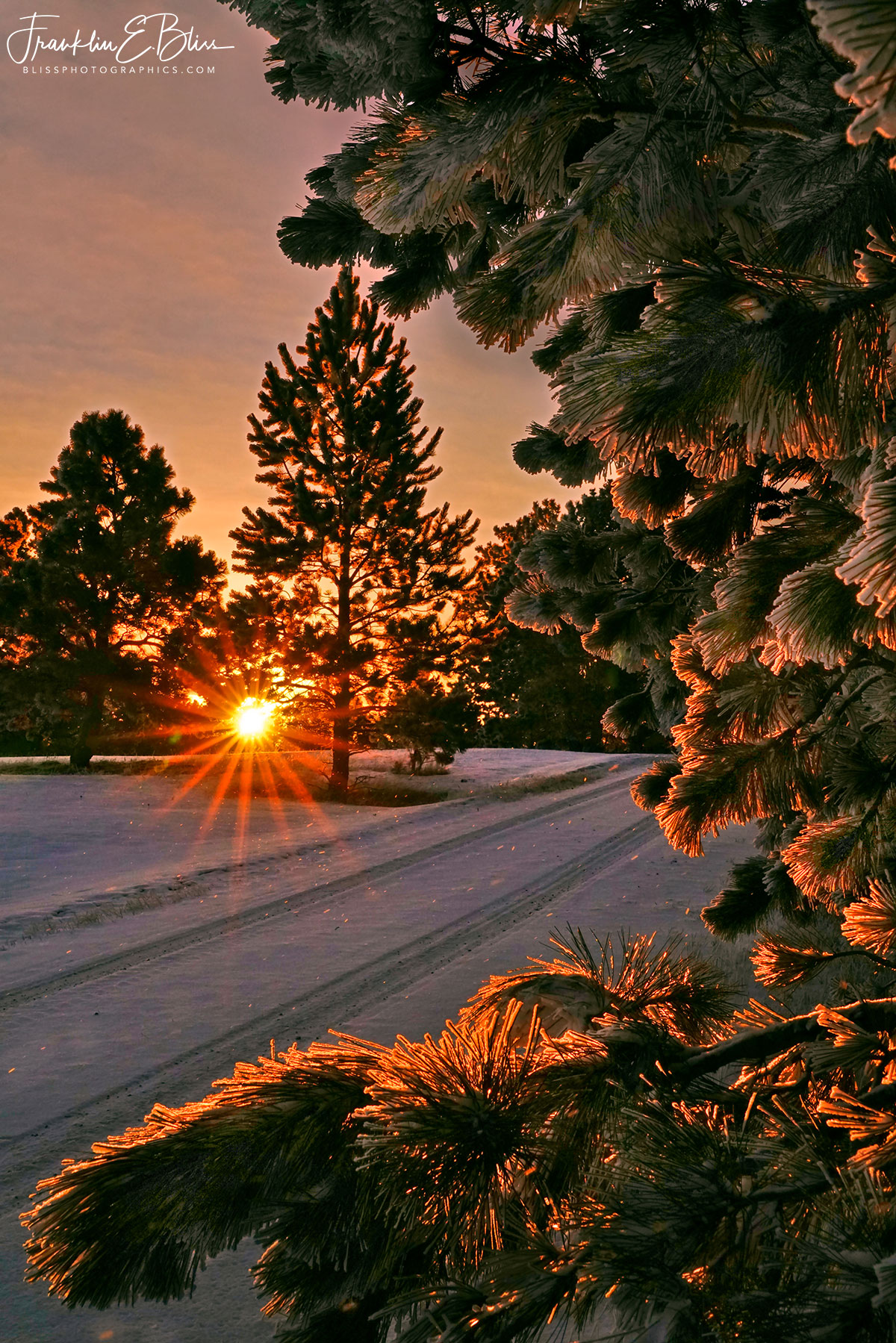 Frosty Pine Bough Sunrise