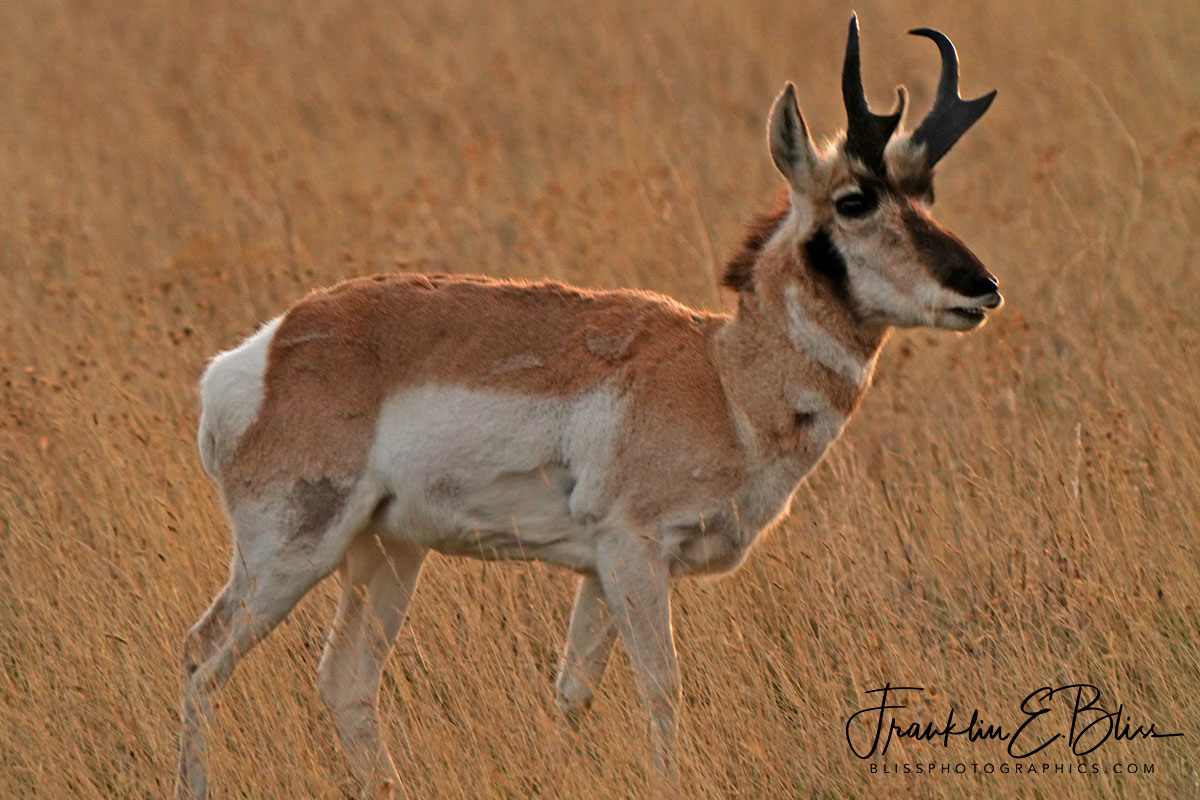 Young Pronghorn Buck Profile