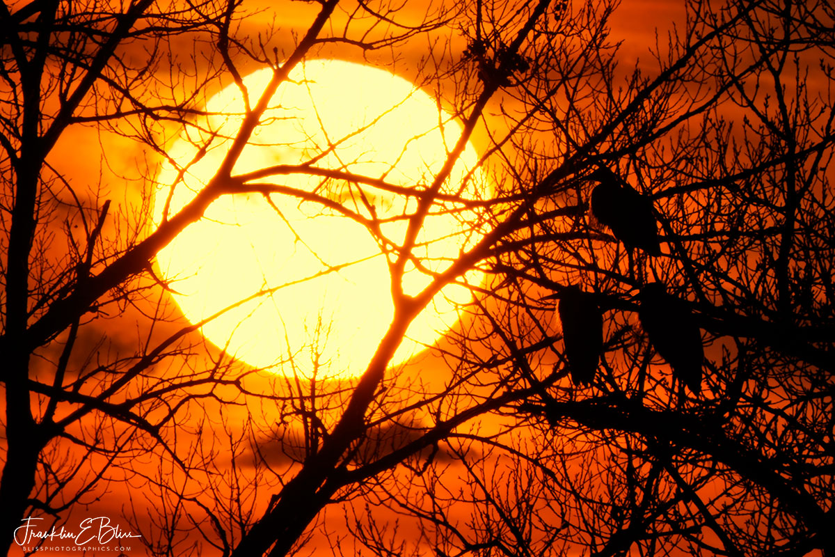 Herons Watching the Sunset