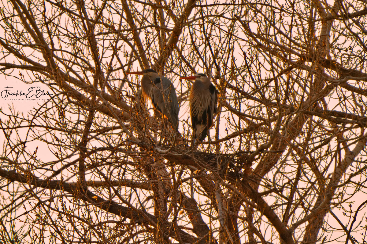 Blue Heron Mated Pair