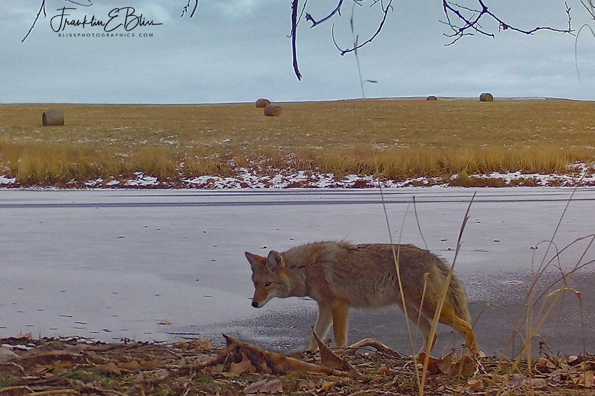 Coyote Hunting the Shoreline
