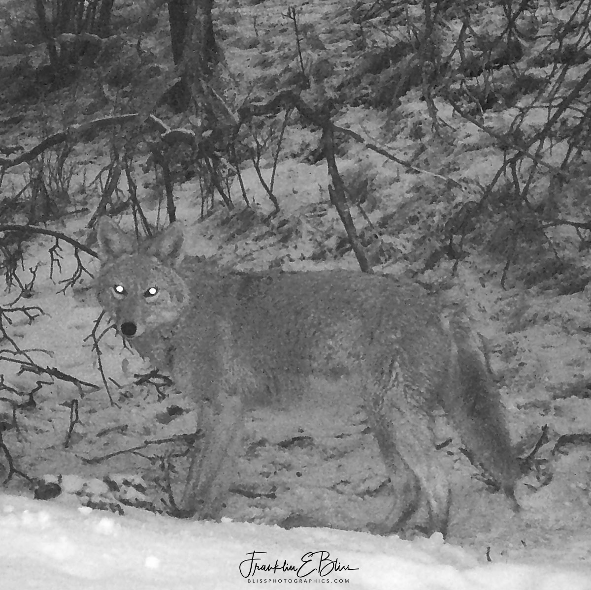 Infra-red Coyote Capture