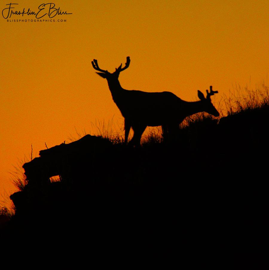 Siamese Silhouette Buck Ridge