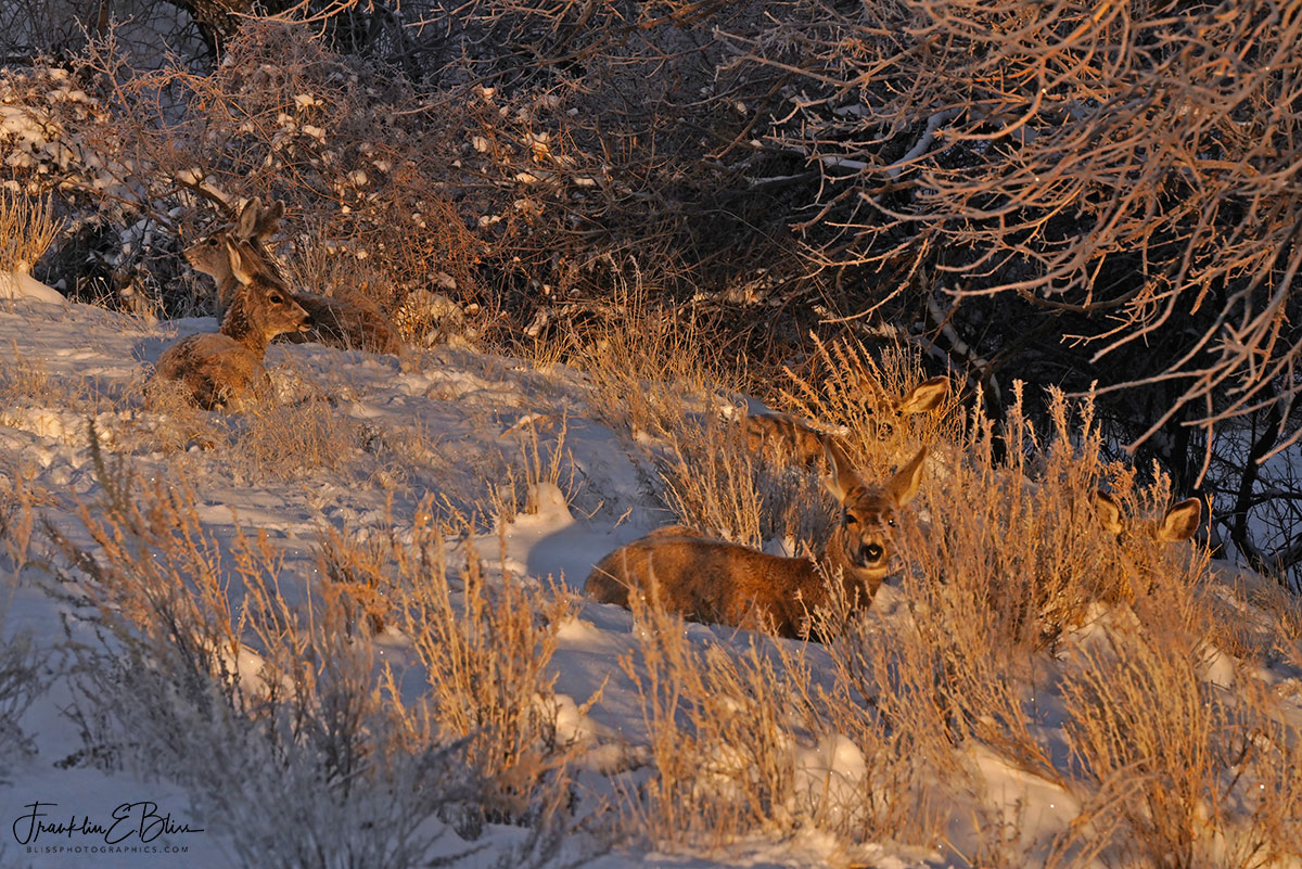 Five Deer Winter Bedded