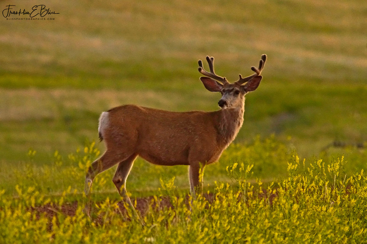 Spring Time Buck in Velvet