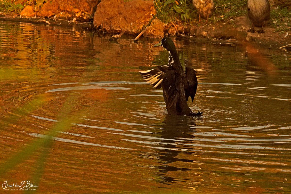 Duck Walking on Water