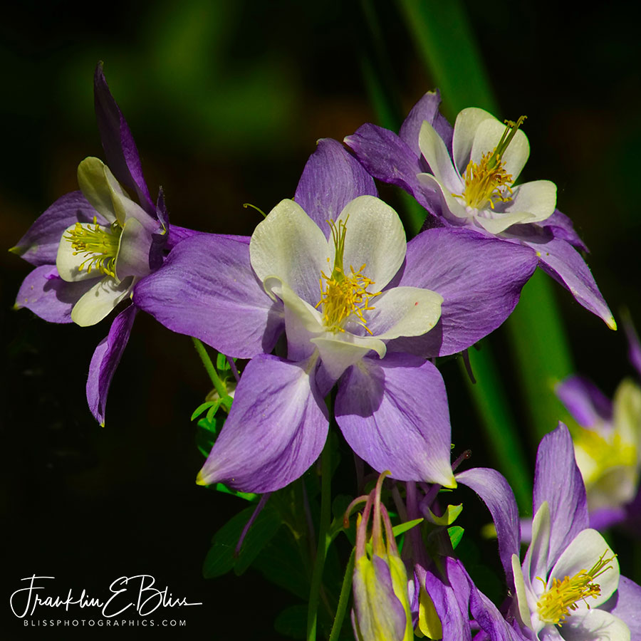 Purple Columbine Spring Bloom