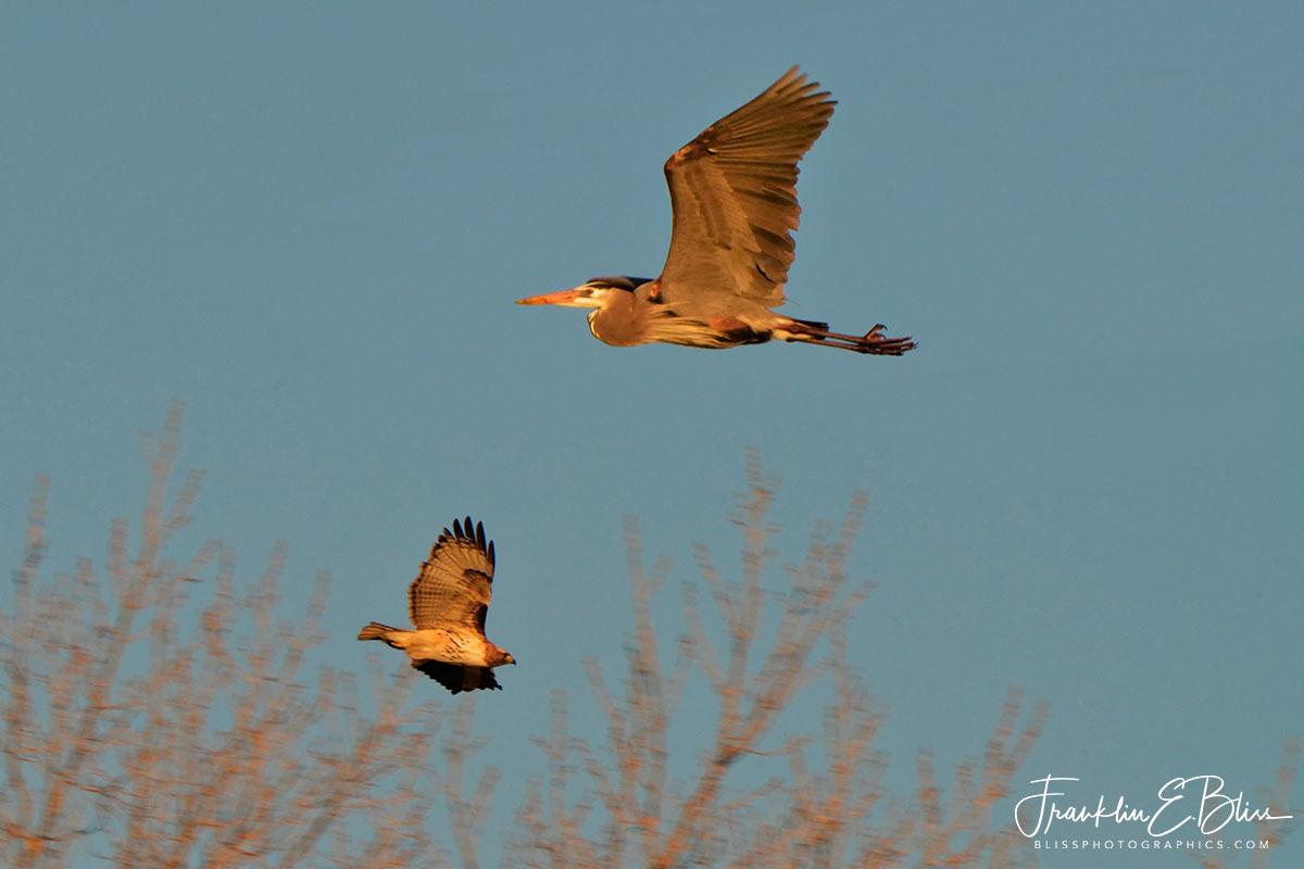 Raptor Dive Bombing Heron