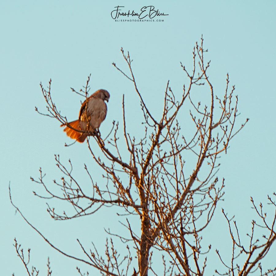 Backlit Red Tail Hawk